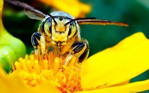 health benefits of bee pollen granules